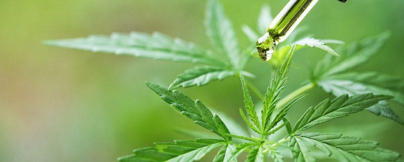 En savoir plus sur le cannabidiol et sur le type de fleur de CBD à choisir